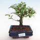 Kryty bonsai - Carmona macrophylla - herbata Fuki - 1/5