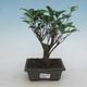 Kryty bonsai - Ficus retusa - ficus drobnolistny - 1/2