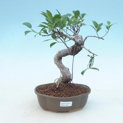 Kryty bonsai - Ficus retusa - figowiec drobnolistny - 1