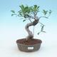 Kryty bonsai - Ficus retusa - figowiec drobnolistny - 1/2