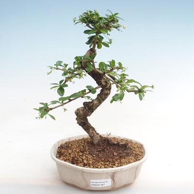 Kryty bonsai - Carmona macrophylla - herbata Fuki PB2201367 - 1
