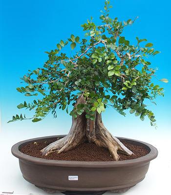 Pokój bonsai - Muraya paniculata - 1