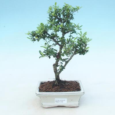 Kryty bonsai - Ilex crenata - Holly - 1