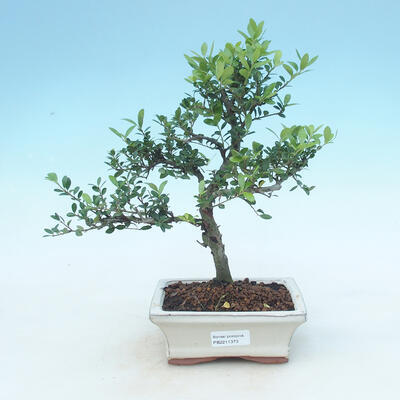Kryty bonsai - Ilex crenata - Holly - 1