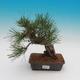Pinus thunbergii - Sosna thunbergova - 1/4