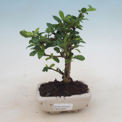 Bonsai do wnętrz - Carmona macrophylla - Herbata Fuki - 1