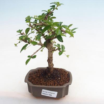 Kryty bonsai - Carmona macrophylla - herbata Fuki - 1
