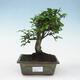 Outdoor bonsai - Buergerianum Maple - Burger Maple - 1/5