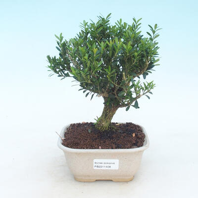 Pokój Bonsai - Buxus harlandii - Bukszpan korkowy - 1