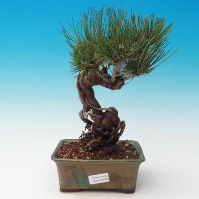 Outdoor bonsai-Pinus thunbergii - Thunberg Pine - 1