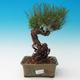 Outdoor bonsai-Pinus thunbergii - Thunberg Pine - 1/3