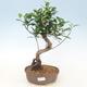 bonsai Room - kimmen Ficus - malolistý ficus - 1/2