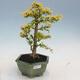 Kryty bonsai -Ligustrum Aurea - dziób ptaka - 1/6