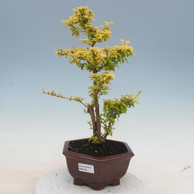 Kryty bonsai -Ligustrum Aurea - dziób ptaka - 1
