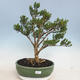 Kryty bonsai - Buxus harlandii - Bukszpan korkowy - 1/6