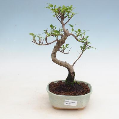 Kryty bonsai - Ficus kimmen - fikus drobnolistny