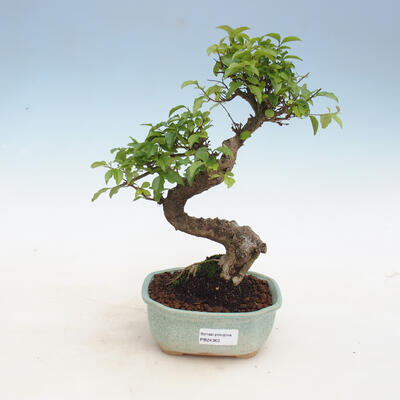 Kryty bonsai - Ligustrum chinensis - Dziób ptaka - 1