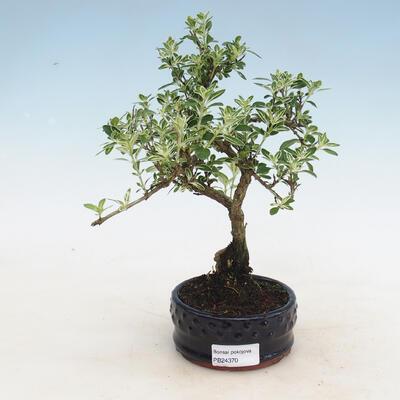 Bonsai do wnętrz - Serissa foetida variegata - Drzewo Tysiąca Gwiazd