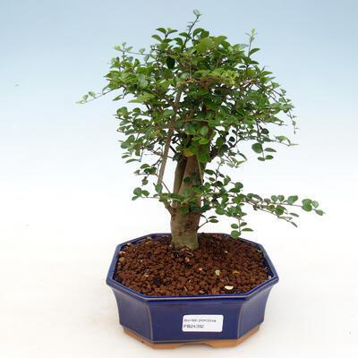 Kryty bonsai -Ligustrum retusa - dziób ptaka drobnolistnego - 1