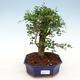 Kryty bonsai -Ligustrum retusa - dziób ptaka drobnolistnego - 1/3