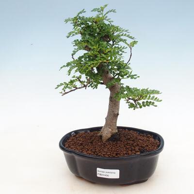 Bonsai do wnętrz - Zantoxylum piperitum - Peppercorn - 1