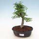 Bonsai do wnętrz - Zantoxylum piperitum - Peppercorn - 1/4
