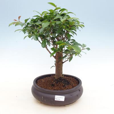 Kryty Bonsai - Wiśnia Australijska - Eugenia uniflora