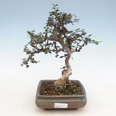 Bonsai do wnętrz - Olea europaea sylvestris - Oliwka europejska drobnolistna - 1