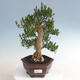 Kryty bonsai - Buxus harlandii - Bukszpan korkowy - 1/5