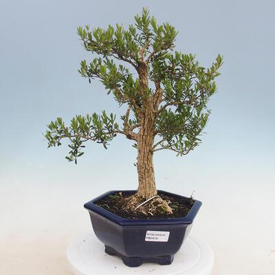 Kryty bonsai - Buxus harlandii - Bukszpan korkowy - 1