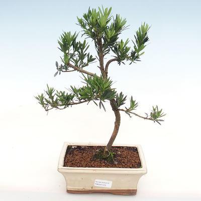 Kryty bonsai-Podocarpus- kamień tys - 1