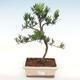 Kryty bonsai-Podocarpus- kamień tys - 1/4