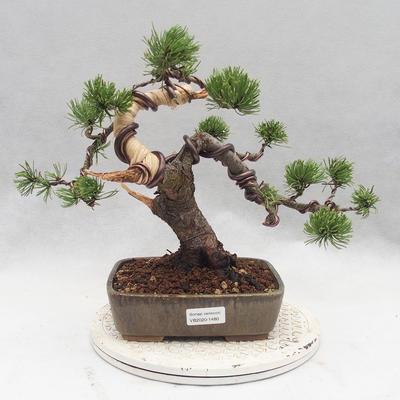 Outdoor bonsai - Pinus Mugo - Klęcząca Sosna - 1