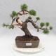 Outdoor bonsai - Pinus Mugo - Klęcząca Sosna - 1/5