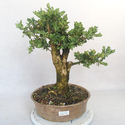 Outdoor bonsai - bukszpan - 1
