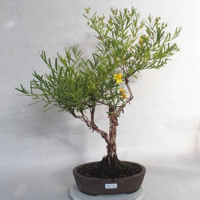 Outdoor bonsai- ziele dziurawca - Hypericum - 1