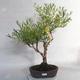 Outdoor bonsai- ziele dziurawca - Hypericum - 1/6