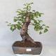 Outdoor bonsai -Mahalebka - Prunus mahaleb - 1/5