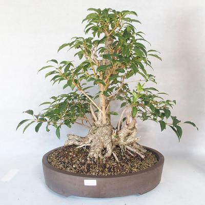 Outdoor bonsai - Forsycja - Forsycja - 1