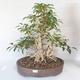 Outdoor bonsai - Forsycja - Forsycja - 1/5