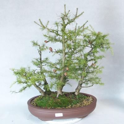 Outdoor bonsai -Larix decidua - modrzew - 1