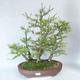 Outdoor bonsai -Larix decidua - modrzew - 1/5