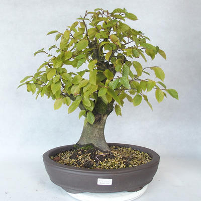 Outdoor bonsai - grab - Carpinus betulus - 1