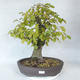 Outdoor bonsai - grab - Carpinus betulus - 1/5