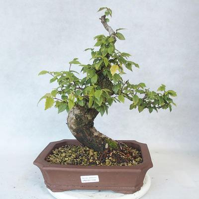 Outdoor bonsai-Ulmus Glabra-Solid Clay - 1