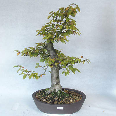 Outdoor bonsai - grab - Carpinus betulus - 1