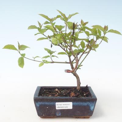 Outdoor bonsai - Dereń - Cornus mas VB2020-520 - 1
