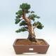 Outdoor bonsai - Juniperus chinensis - chiński jałowiec - 1/5