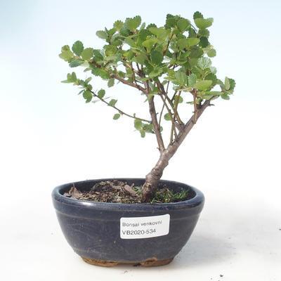 Outdoor bonsai - brzoza karłowata - Betula NANA VB2020-534 - 1