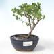Outdoor bonsai - brzoza karłowata - Betula NANA VB2020-534 - 1/2
